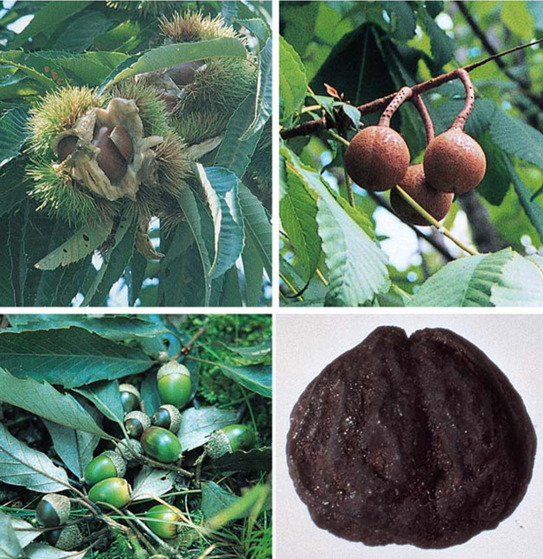 Fig. 07 - Various edible nuts (Clockwise from upper left) Sweet chestnut; horse chestnuts; remains of a Middle Jomon chestnut from Sannai Maruyama, Aomori Prefecture; acorns.